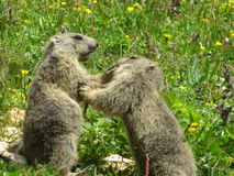 Marmot baby fighting stock images