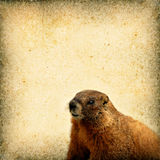 Marmot Background Royalty Free Stock Photos