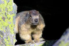 marmot in berg zij ` s die wat voedsel zoeken stock afbeeldingen