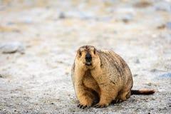 Marmot Royalty Free Stock Image