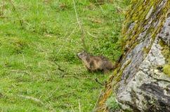 marmot bij een rots Stock Foto