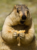 Marmot with bisquit on the meadow Royalty Free Stock Photography