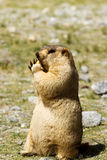 Marmot with bisquit on the meadow Stock Photography