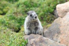 Marmot blanchi dans le pré Photos stock