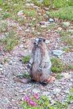 Marmot blanchi posant dans le sentier de randonnée au lac caché donnent sur Glacier NP montana LES Etats-Unis photographie stock libre de droits