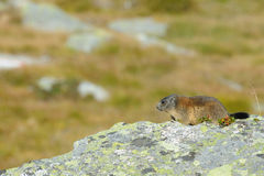 Marmot on a boulder Royalty Free Stock Photography