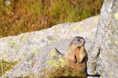 Marmot on a boulder Stock Images