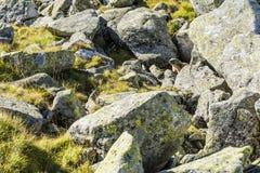 Marmot among boulders. Endemism Marmot (Marmota marmota latirostris) among boulders royalty free stock photos