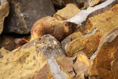 Marmot boven op Rots Stock Afbeeldingen