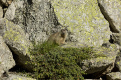 Marmot brown Stock Photos