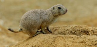 Marmot burrows on the edge Royalty Free Stock Photography
