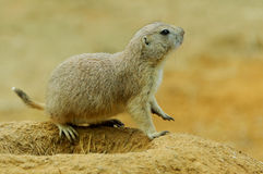 Marmot burrows on the edge Stock Photos