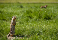 Marmot Calling Out to Other Prairie Dogs. Marmot standing and calling out to other prairie dogs with one in out of focus in the background Stock Image