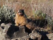 Marmot Calling Stock Photography