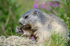 Marmot chewing a root Stock Photo