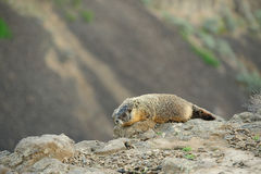 Marmot on cliff Stock Image