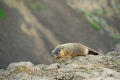 Marmot on cliff stock image