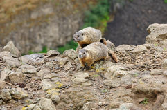 Marmot on cliff Royalty Free Stock Images
