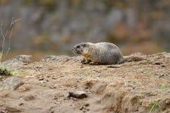 Marmot on cliff royalty free stock photo