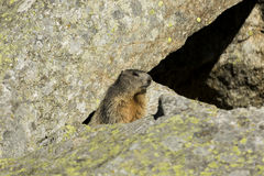 Marmot close up Royalty Free Stock Photos
