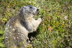 Marmot closeup Stock Photo