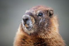 Marmot Closeup Head Shot Stock Photos