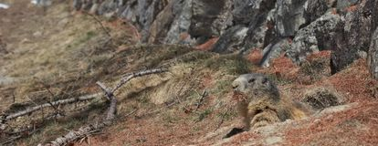 Marmot collecting pine needles. Alpine Marmot Marmota marmota looking out of burrow carrying brown pine needles in its mouth royalty free stock image