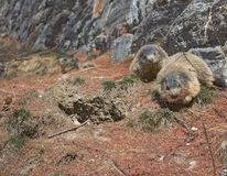 Marmot collecting pine needles. Two Alpine Marmots Marmota marmota, one carrying brown pine needles in its mouth stock images