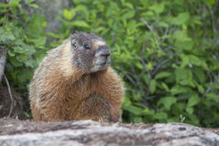 Marmot coming out of his den Royalty Free Stock Photos