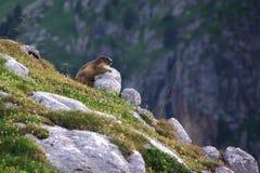 Marmot conquering the rock. Marmot having a sun-bath in the Spanish Pyrenees Stock Photos