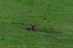 marmot at construction Stock Photos
