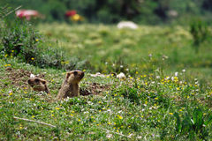 Marmot couple Royalty Free Stock Image