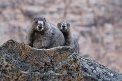 Marmot couple on rocks. Royalty Free Stock Images