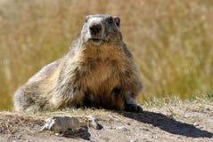 Marmot dans l'herbe Photo stock