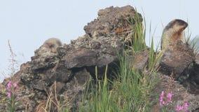Marmot dans les alpes