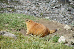 Marmot dans les montagnes sur l'herbe verte Photographie stock libre de droits