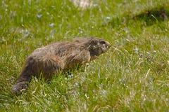 Marmot dans lui est trou Photographie stock libre de droits