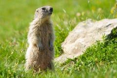 Marmot in de alpen Stock Afbeelding