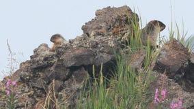 Marmot in de alpen stock video