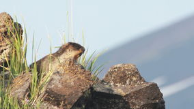 Marmot in de alpen stock footage