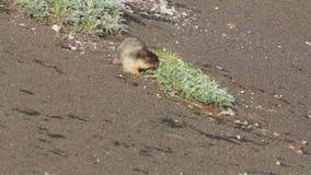 Marmot in de alpen stock videobeelden