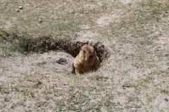 Marmot de l'Himalaya Images libres de droits