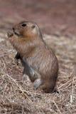 Marmot de met zwarte staart van de Prairie Stock Afbeelding