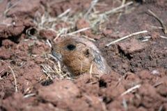Marmot de met zwarte staart van de Prairie Stock Foto
