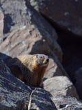 Marmot in de zon Royalty-vrije Stock Fotografie
