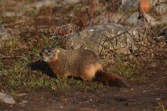 Marmot in de zon Stock Afbeelding