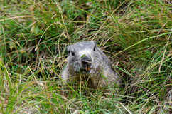 Marmot in the den Stock Photos