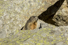 Marmot detail Royalty Free Stock Images