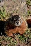 Marmot dichtbij de rotsen Stock Afbeeldingen