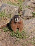 Marmot dichtbij de rotsen Royalty-vrije Stock Afbeeldingen